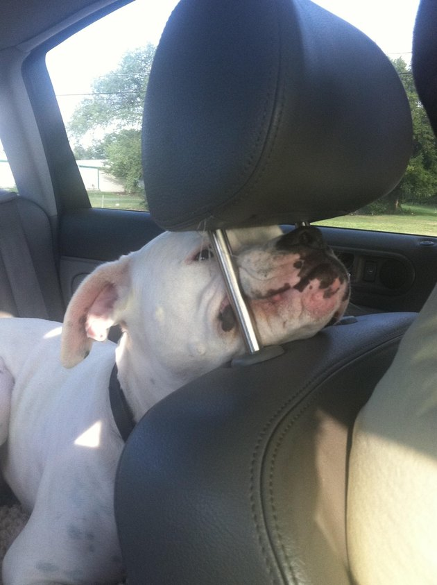 A white Boxer dog in the back of a car sticks its muzzle under the headrest of the driver's seat.