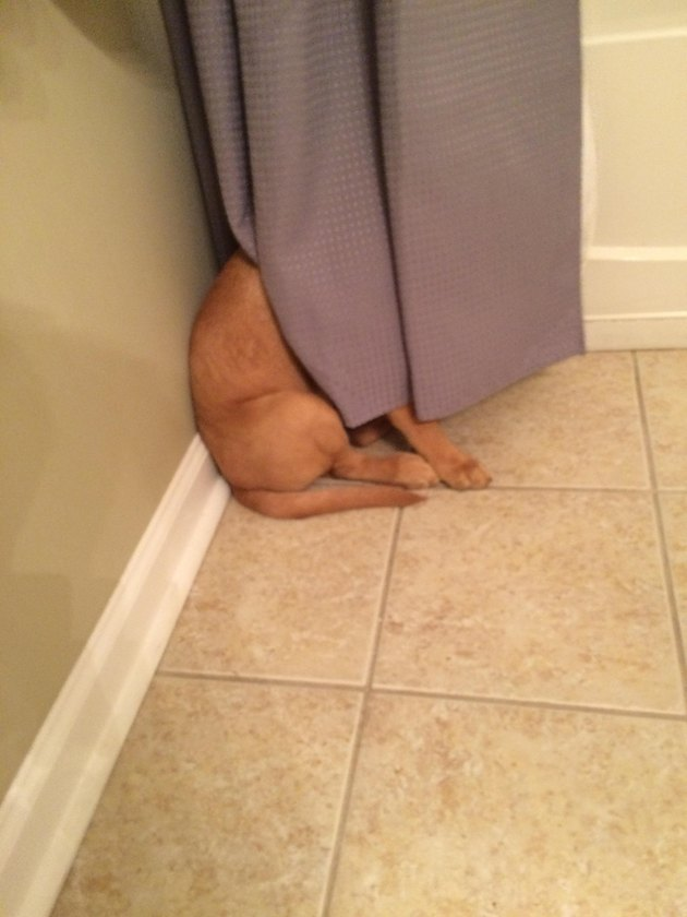 Dog hiding its face behind curtain.