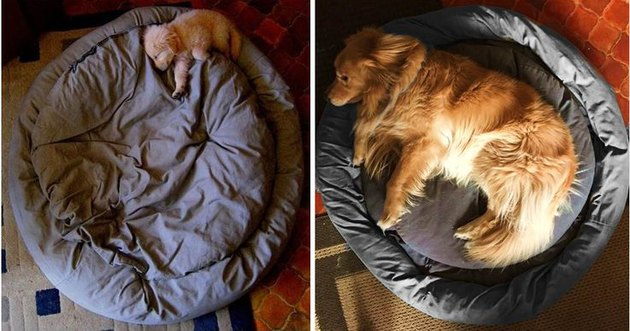 dog lying on his bed as a tiny puppy and as a big dog