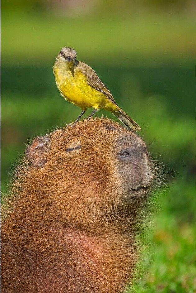 Capybara with yellow bird on its head.