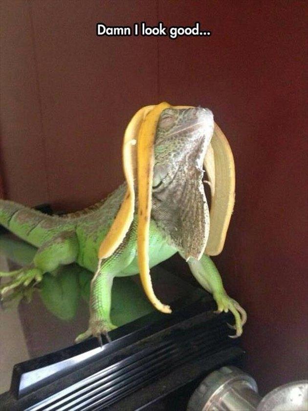 Iguana with a banana peel on its head.