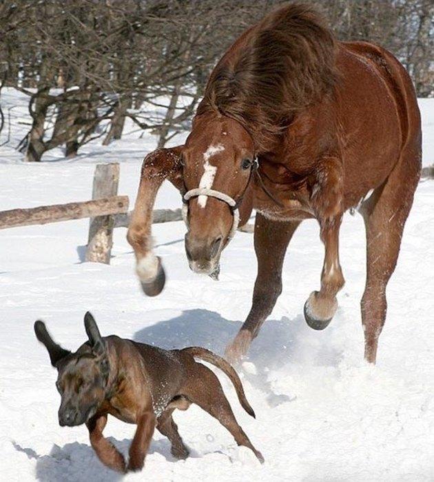 Horse chasing dog.