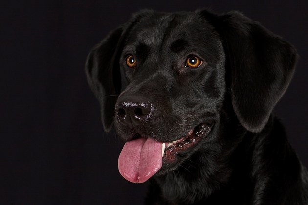 portrait of black lab