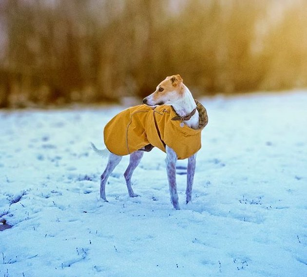 Lurcher in snow