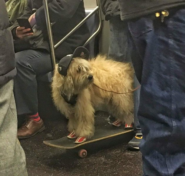 Dog wearing shoes, standing on a skateboard, wearing a hat, on the subway