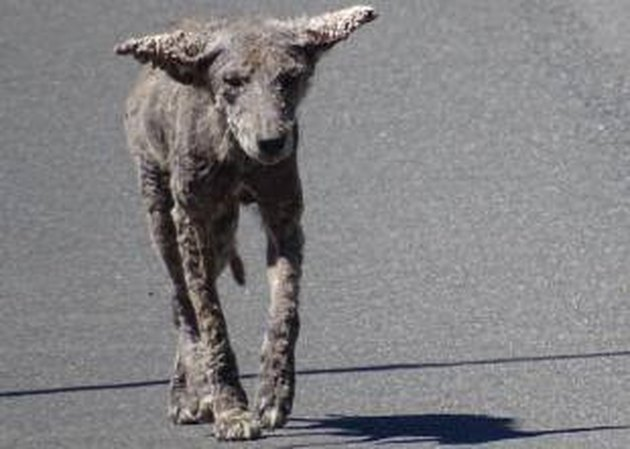 Infected Coyotes Are Being Mistaken for Zombie Dogs in Chicago