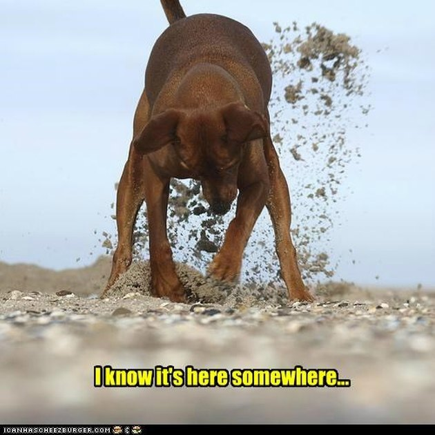 Dog digs in sand.