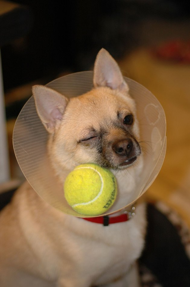 Dog wearing E-collar with a tennis ball inside it