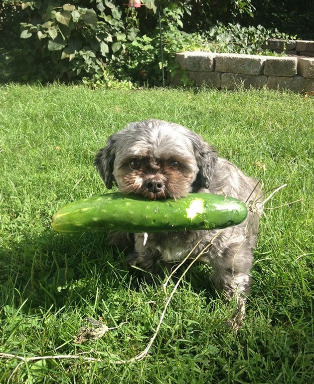 Dog holding a cucumber.