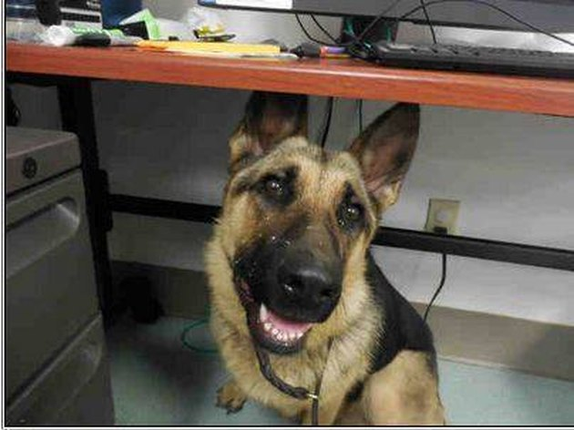 german shepherd found