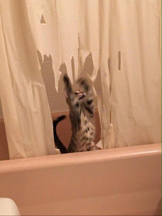 Kitten shredding shower curtain (3)
