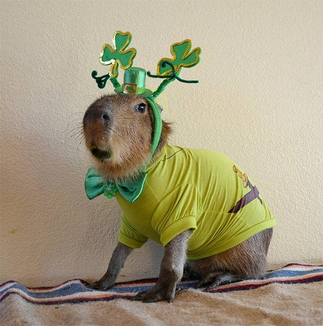 Capybara dressed up for St. Patrick's Day.