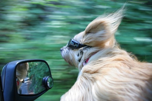 Dog in car with hair blowing.