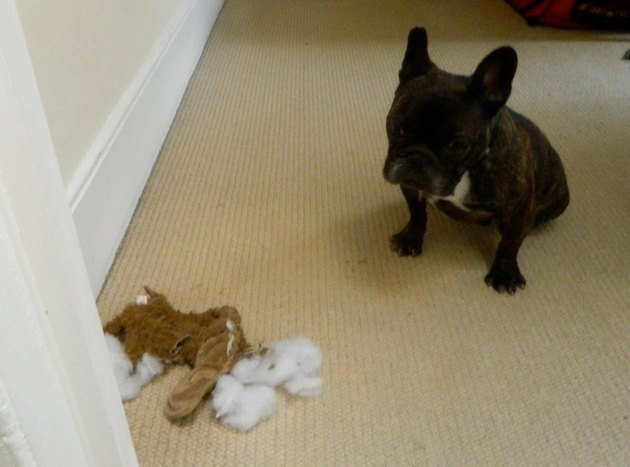 French bulldog sits next to destroyed stuffed animal.