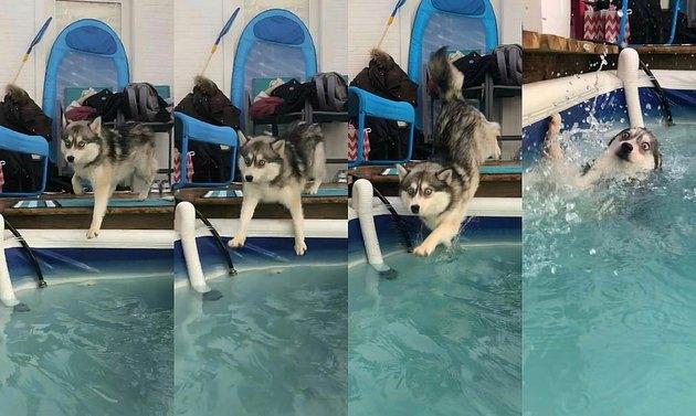 Photo set of Husky falling into swimming pool