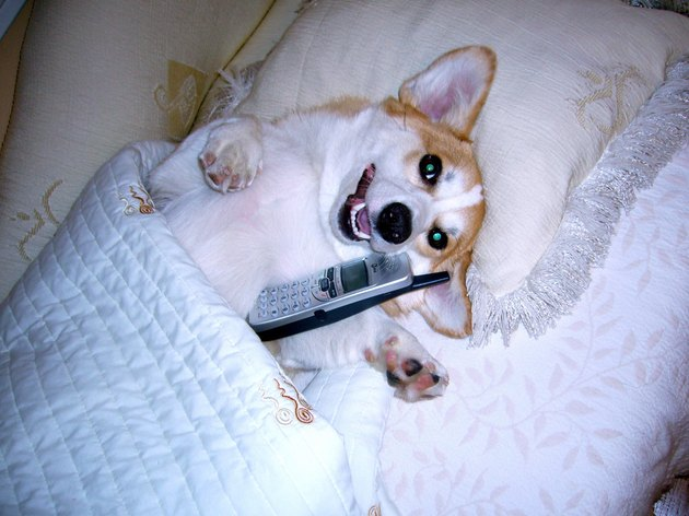 Dog using a cellphone.