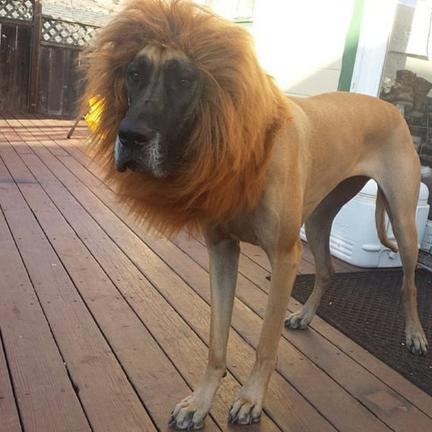 Dog wearing lion's mane.