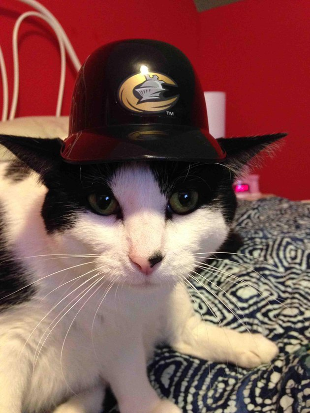 Cat wearing hat with sports team logo.