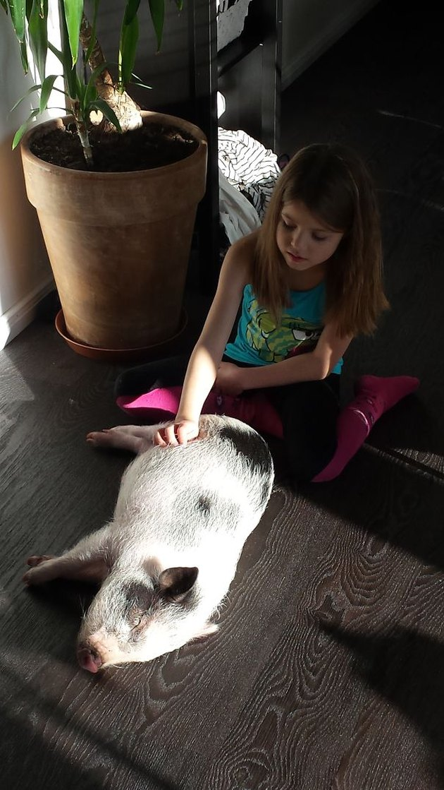 Pig in sunlight getting its tummy scratched by young girl.