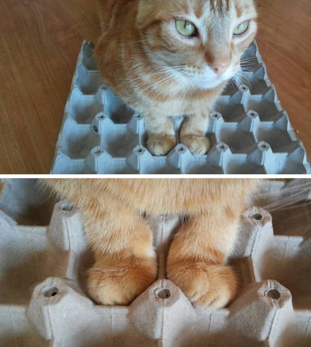 Cat with paws in egg carton.
