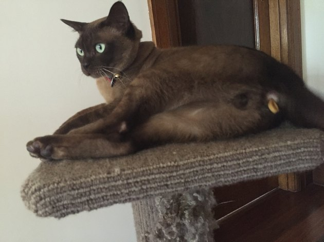 Cat who ate an elastic and now half of it is hanging out of the cat's butt.