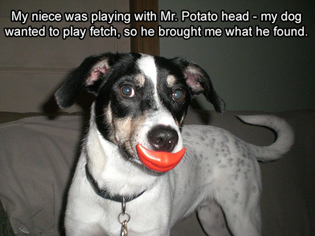 Dog with Mr Potato Head lips in his mouth.