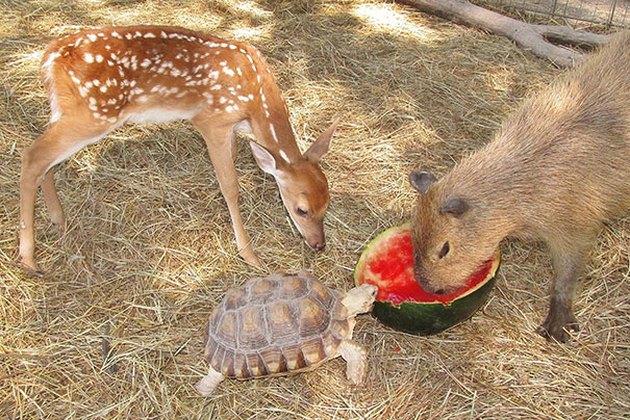 Deer, tortoise, and capybara share watermelon