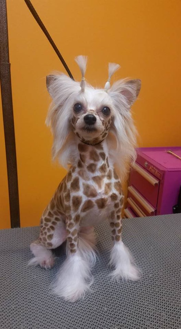 Dog dressed as giraffe.