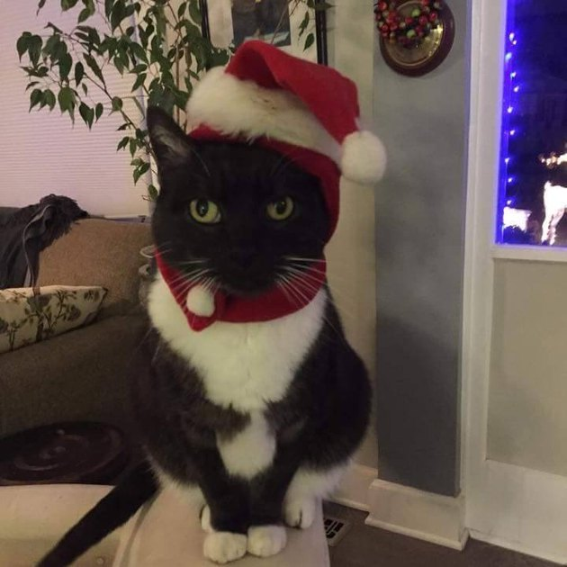 Cat in Santa hat and scarf
