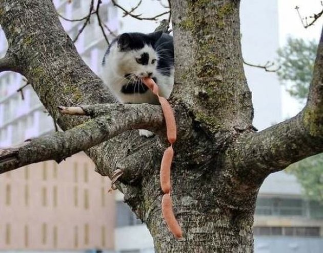 Cat in tree eating sausages.