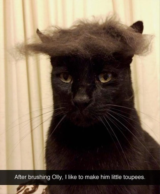 Cat with fur on its head. Caption: After brushing Olly, I like to make him little toupees.