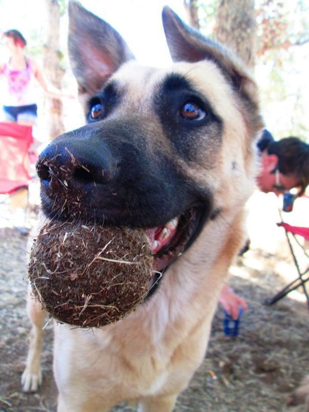 Dog holding tennis ball completely covered in dirt.