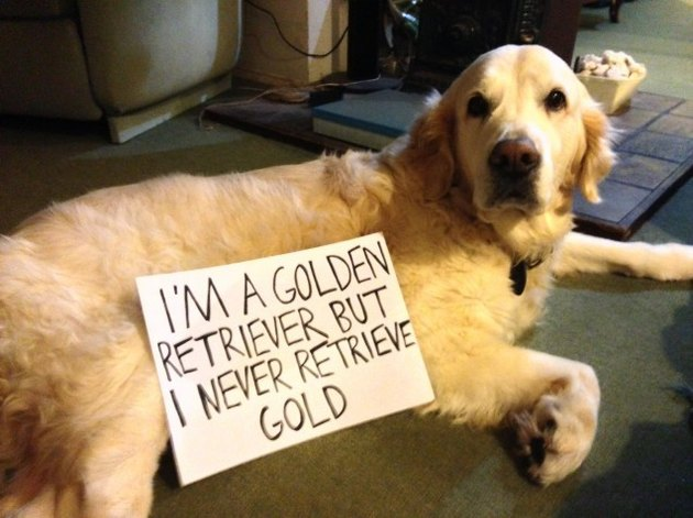 "Dog with sign that says ""I'm a golden retriever but I never retrieve gold."""