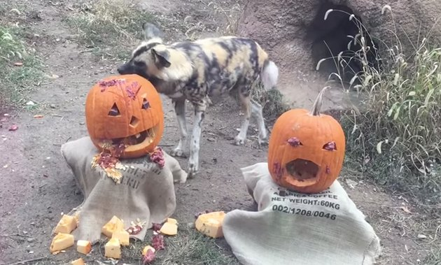 Zoo Animals Smashing Pumpkins Is Even More Fun Than It Sound