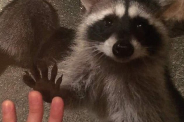 Teen's Friendship With Raccoon Family Is The Relationship We All Need