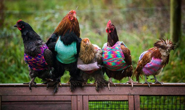 Row of five fancy chickens wearing multicolored sweaters.