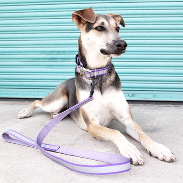 Dog wearing reflective purple collar and leash