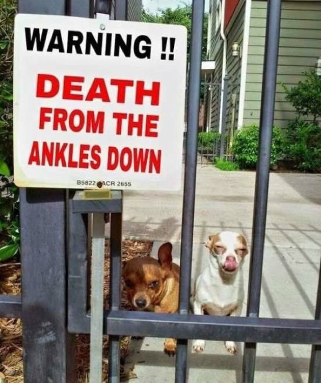 Chihuahuas next to Beware of Dog sign