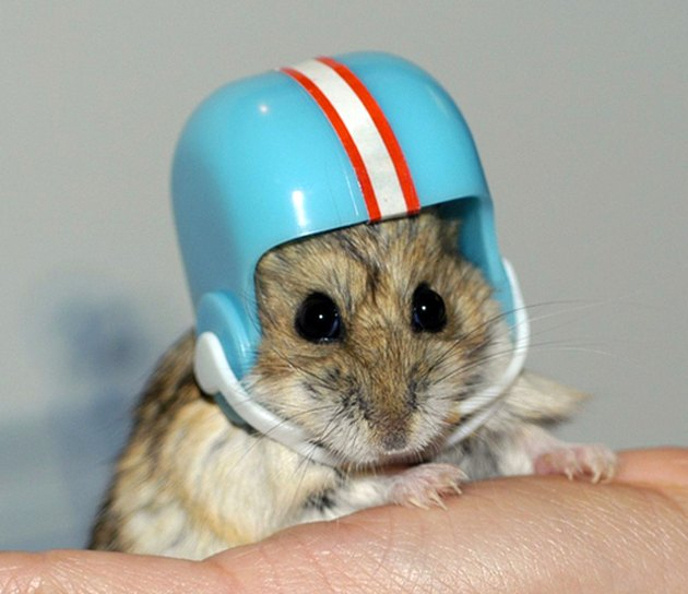 Hamster in football helmet.