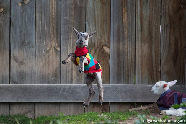Goat in colorful sweater mid-jump