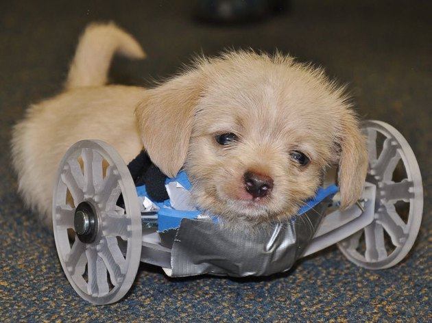 Cutest Wheelchair Puppy