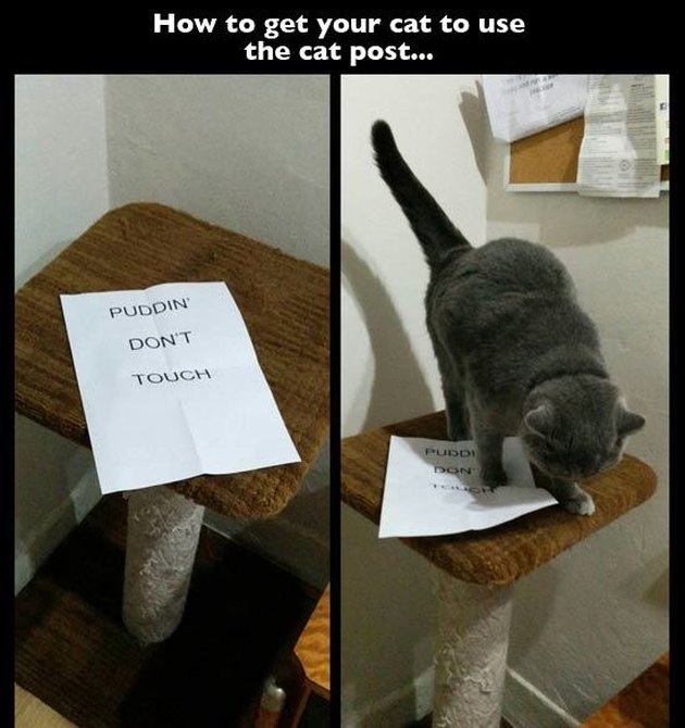 "Cat jumping on sign on scratching post that says ""Puddin' Don't Touch"""