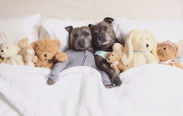 These Cuddly Pit Bulls In Pajamas Are Winning Hearts & Changing Minds