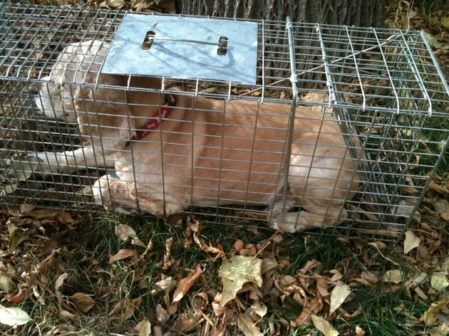 A small dog is lying down in a raccoon trap.
