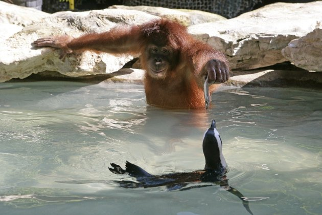 Orangutan feeds a fish to a penguin