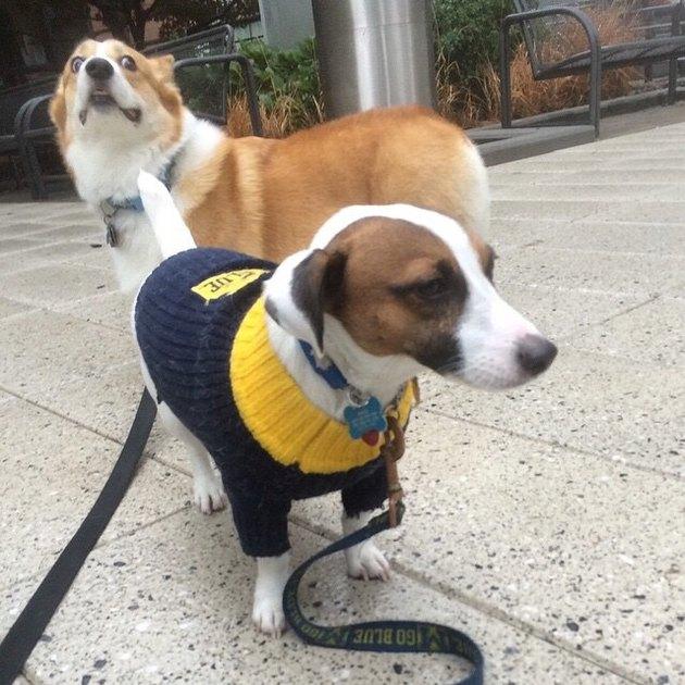 Dog with surprised looking corgi behind it.