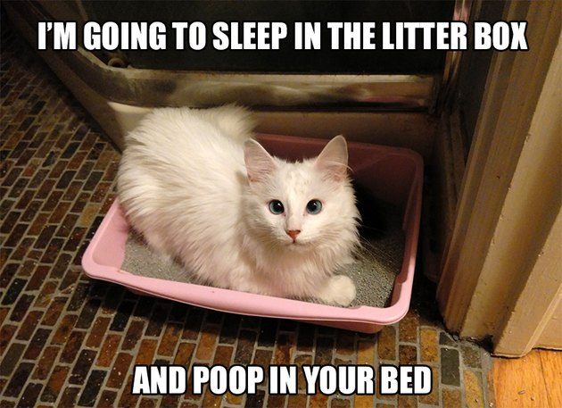 "Cat sitting in litter box with caption: ""I'm going to sleep in the litter box and poop in your bed."""