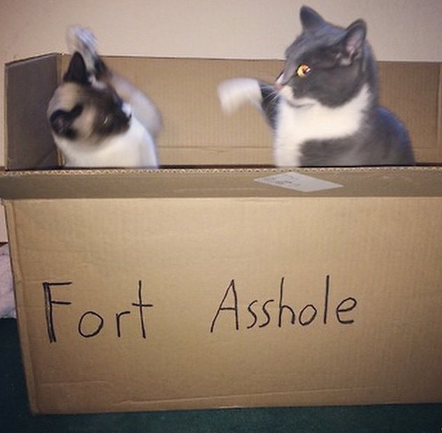 "Cats fighting in cardboard box that says ""Fort Asshole"""