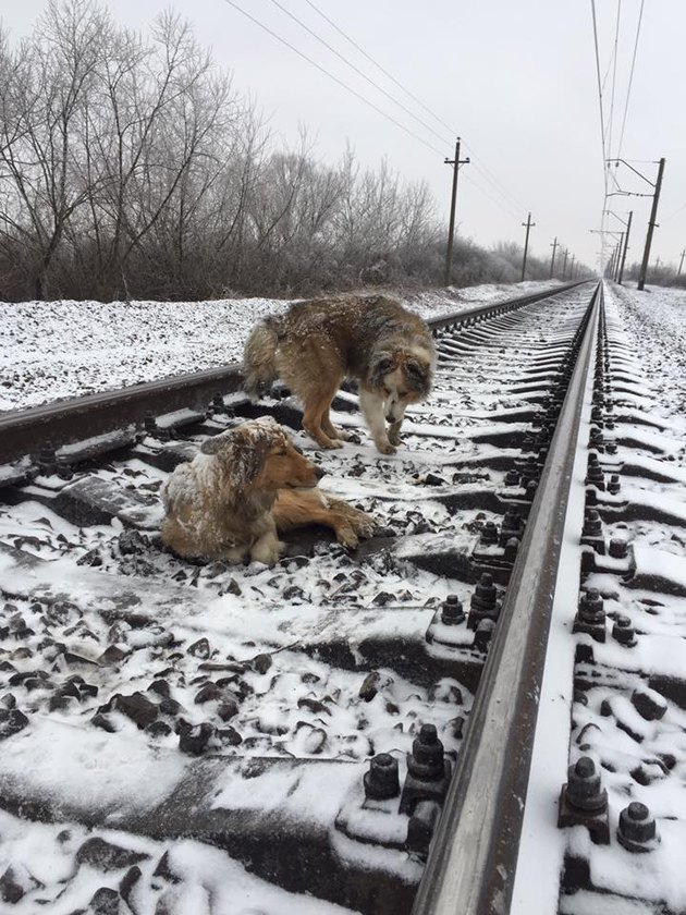 Dog Spends 2 Days Warming Injured Friend On Freezing Train Tracks