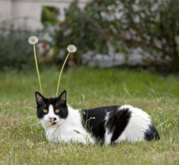 Cat with dandelions
